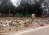 A sacred cow grazes garbage along the Indian roadside.