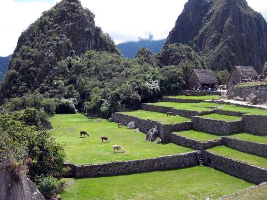 Llama grazing flats at Machu Picchu. (Hi, llamas!)