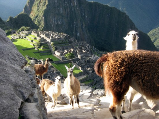 A flock of determined llama ascend the centuries-old staircase.