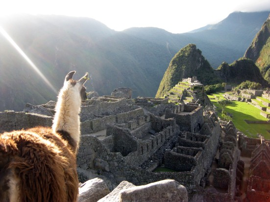 A lone llama ponders the lost Incan civilization at Machu Picchu.