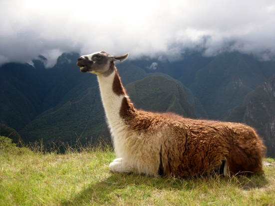This llama doesn't know what he's saying.