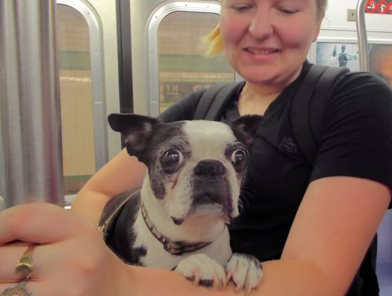 Boston terrier on the F train.